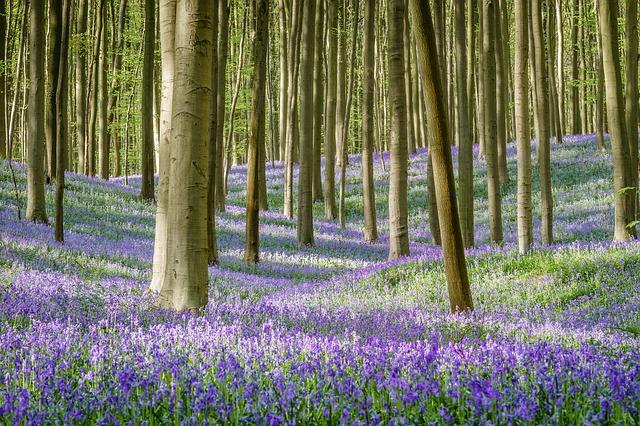 синий лес в Бельгии